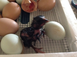 Our first chick hatching from our incubator!